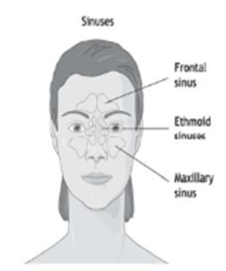 An image showing the sinuses